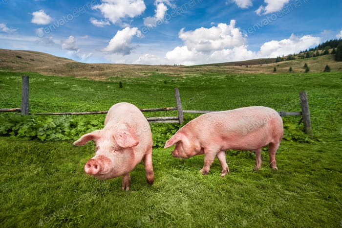 Niedliche Schweine weiden auf Sommerwiese auf Bergweide
