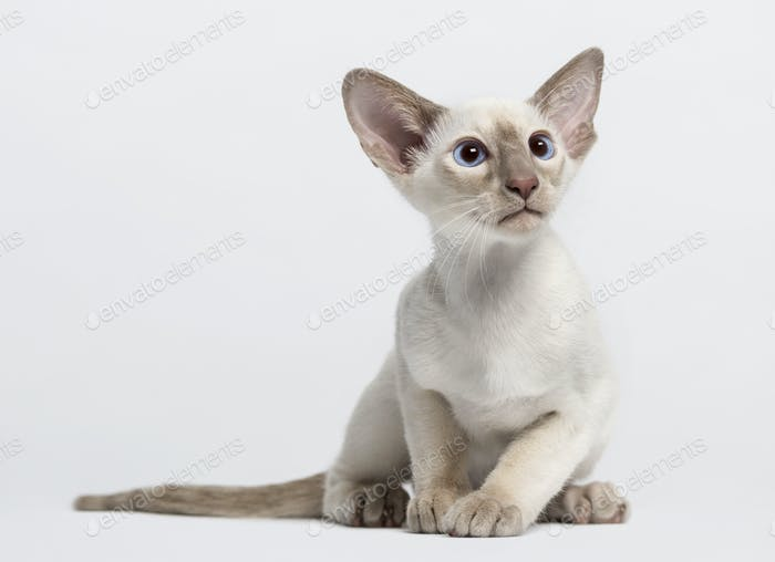 Thumbnail for oriental shorthair kitten