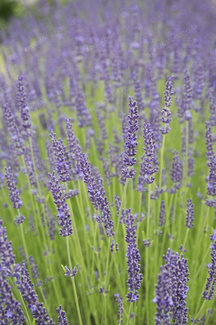 Close up of lavender plant flowering.
