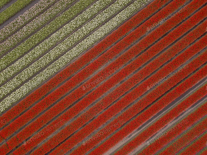 Tulip field Aerial view