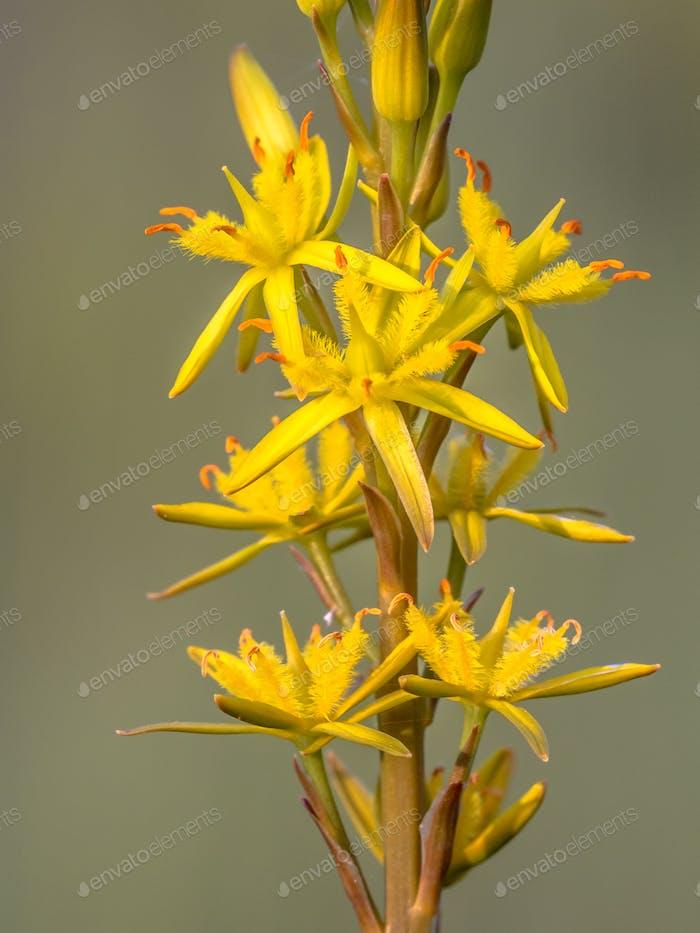 Nahaufnahme Detail von Moor Asphodel Blume