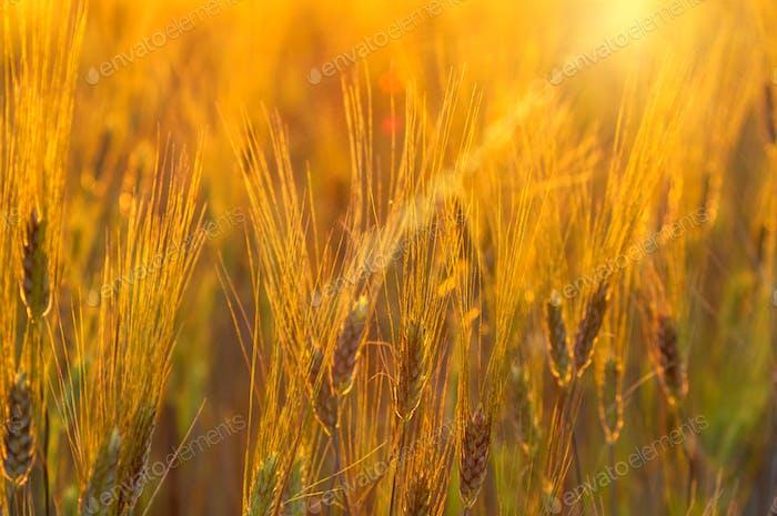 Primer plano de campo de arroz de cebada a la hora del atardecer con llamarada de lente.