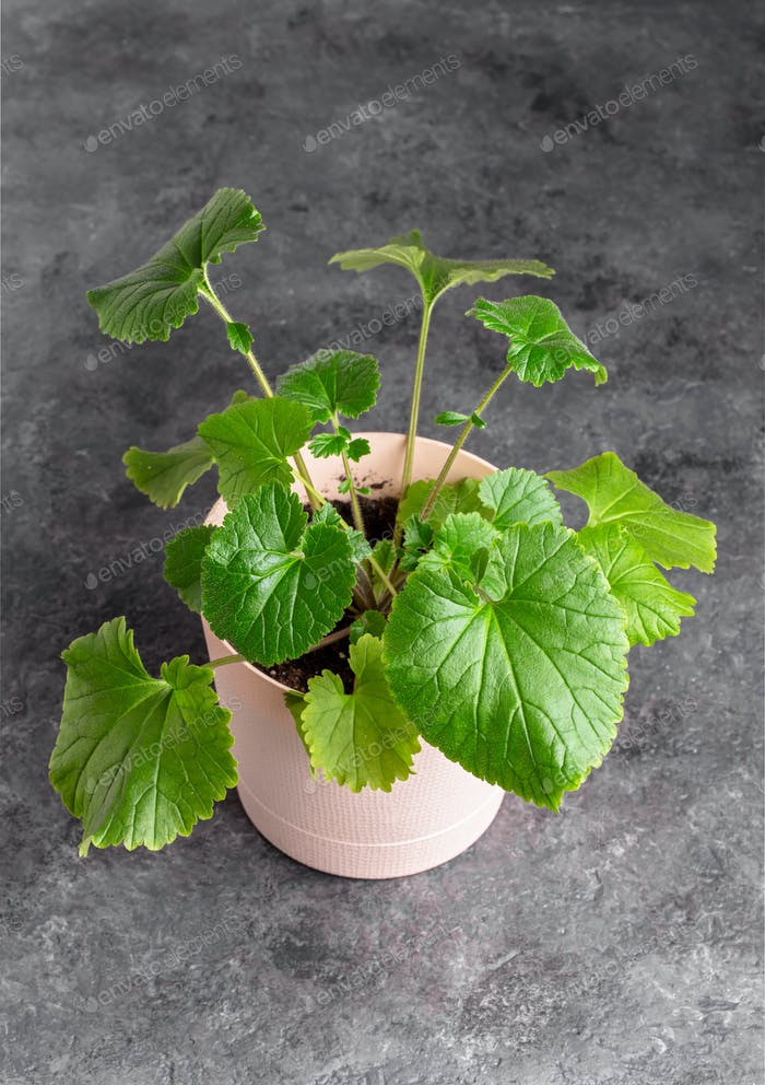 Shiso plant closeup