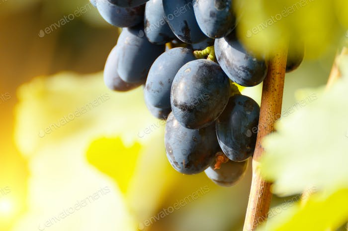 Blue grape cluster against sunlight closeup view