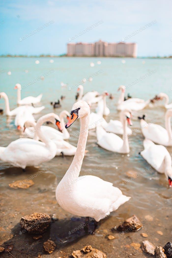 Schöne weiße Schwäne und Enten auf dem See
