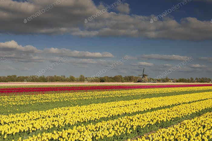 red and yellow tulips and Dutch windmill in sunshine