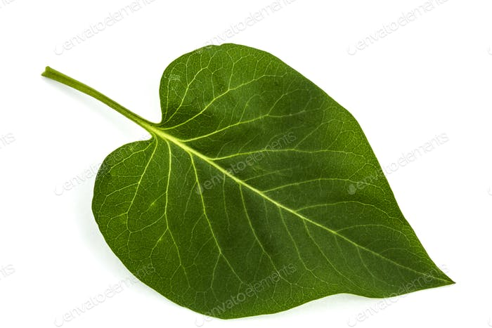 Green leaf of Lilac, Syringa vulgaris, isolated on white backgro