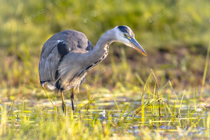 Grey heron hunting in wetland