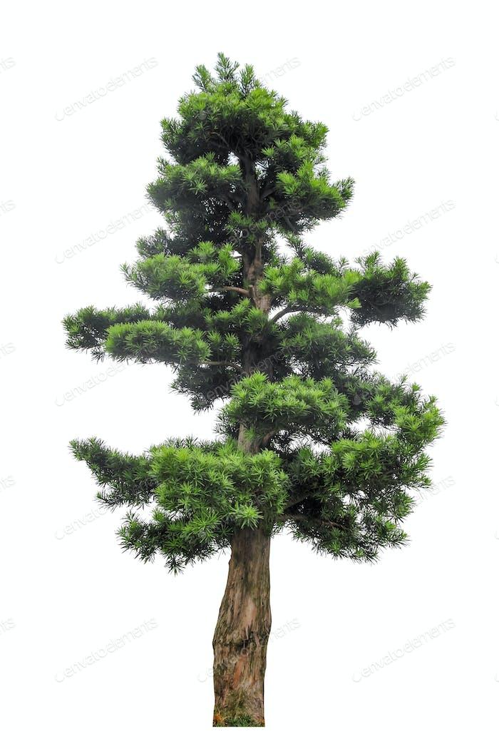 yew podocarpus