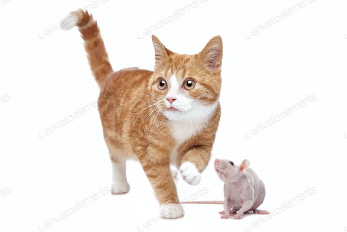 A red Kitten and a naked rat