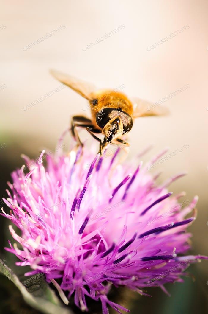 Kleine Wespe Familie Insekt auf einer lila Blume sammeln Pollen