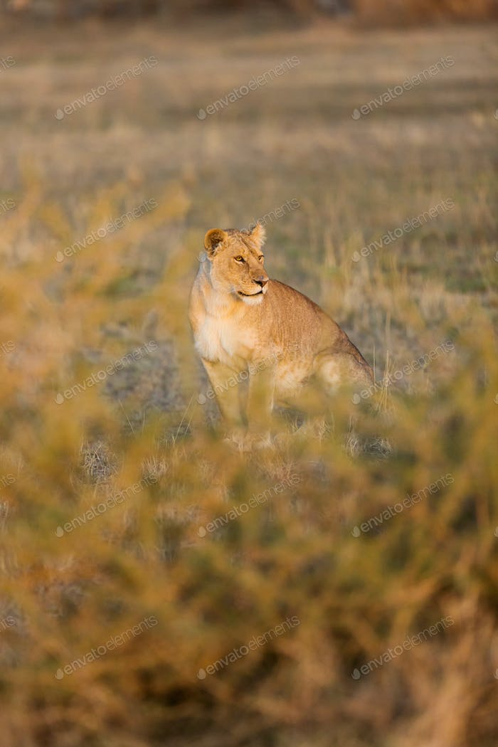 Lion early morning in Africa