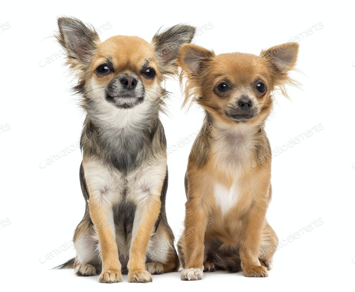 Two Chihuahuas sitting and looking at camera against white background