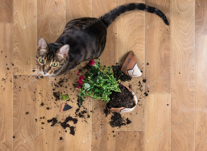Domestic cat breed toyger dropped and broke flower pot with red