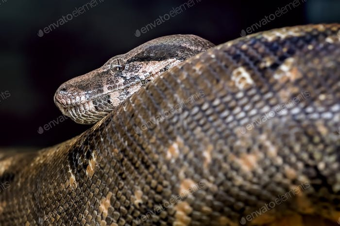 Head and tail of a large black snake