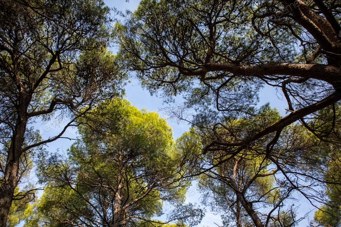 Tall green pine treetops from below to upwards, background.