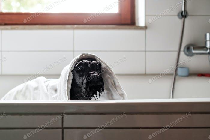 A wet black schnauzer dog in towel is bathing standing in bathroom