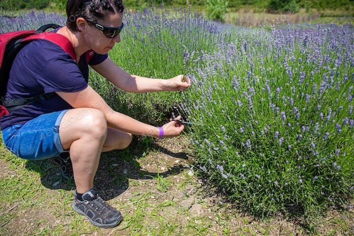 Frau pflückt etwas Lavendel