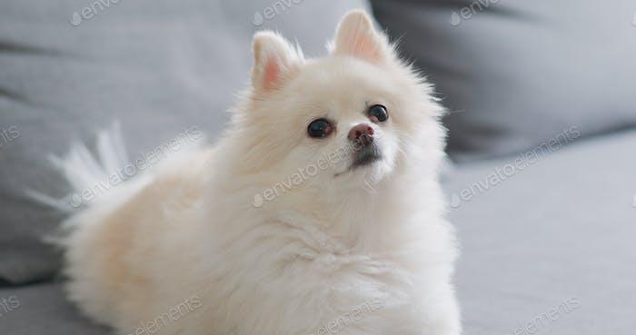 White pomeranian dog lying on sofa at home