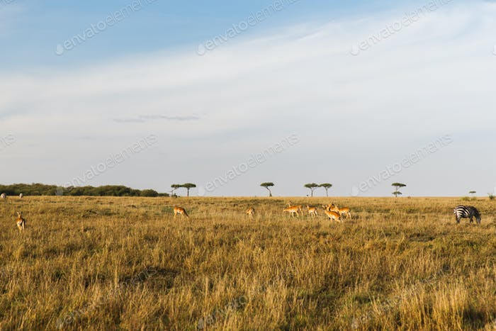 Impala oder Antilopen grasen in Savanne in Afrika