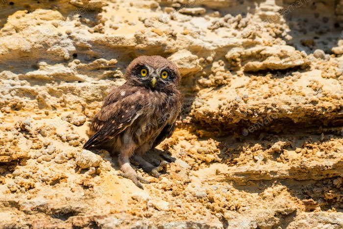 Little owl or Athene noctua on rock