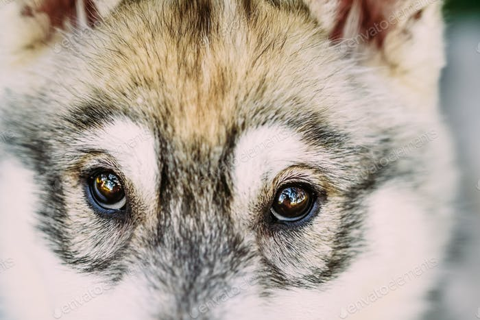 Close Up Of Eyes Of Husky Dog Puppy