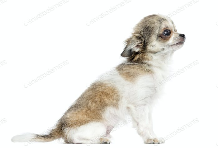 Side view of a Chihuahua puppy, 5 months, isolated on white