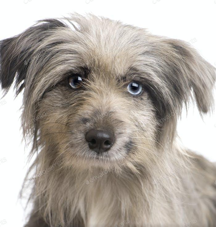 Pyrenean Shepherd (18 weeks)
