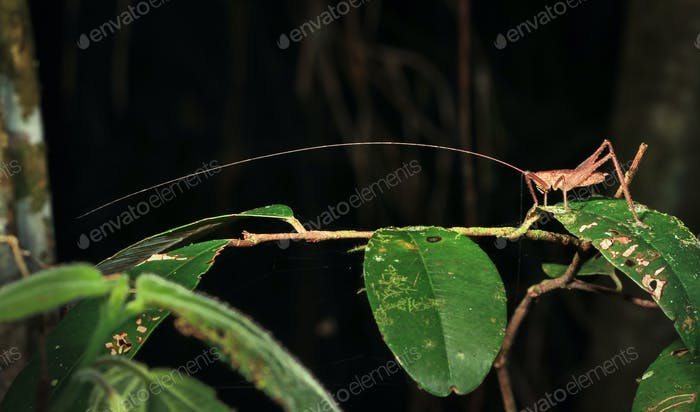 Insect With Long Antennae at Night in Belize