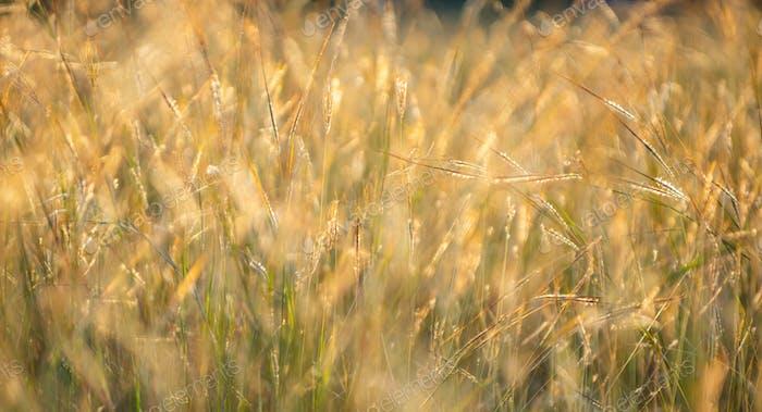 Golden light on the grass field