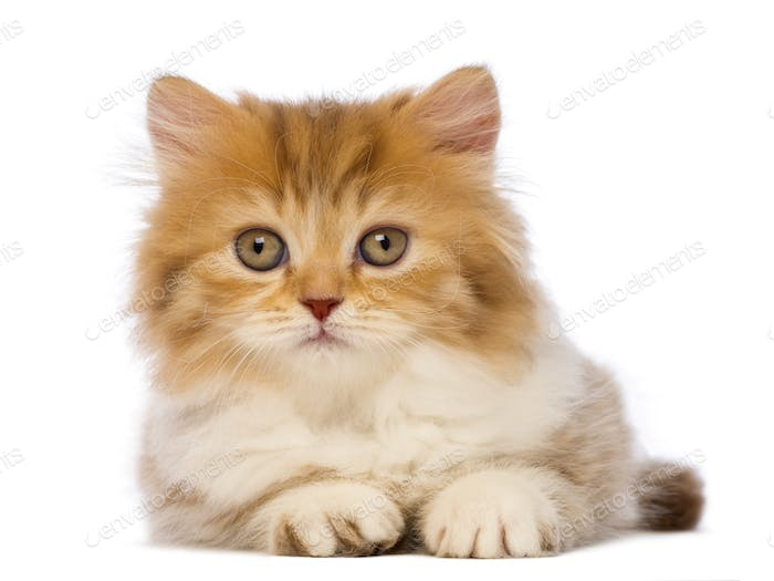 British Longhair kitten, 2 months old, lying and looking at the camera in front of white background