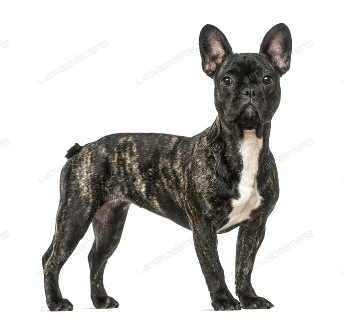 French Bulldog standing, isolated on white