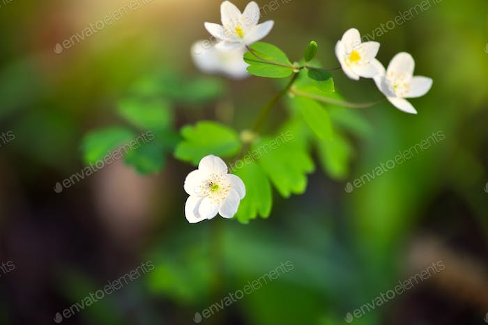 Spring flower close-up. Isopyrum thalictroides.