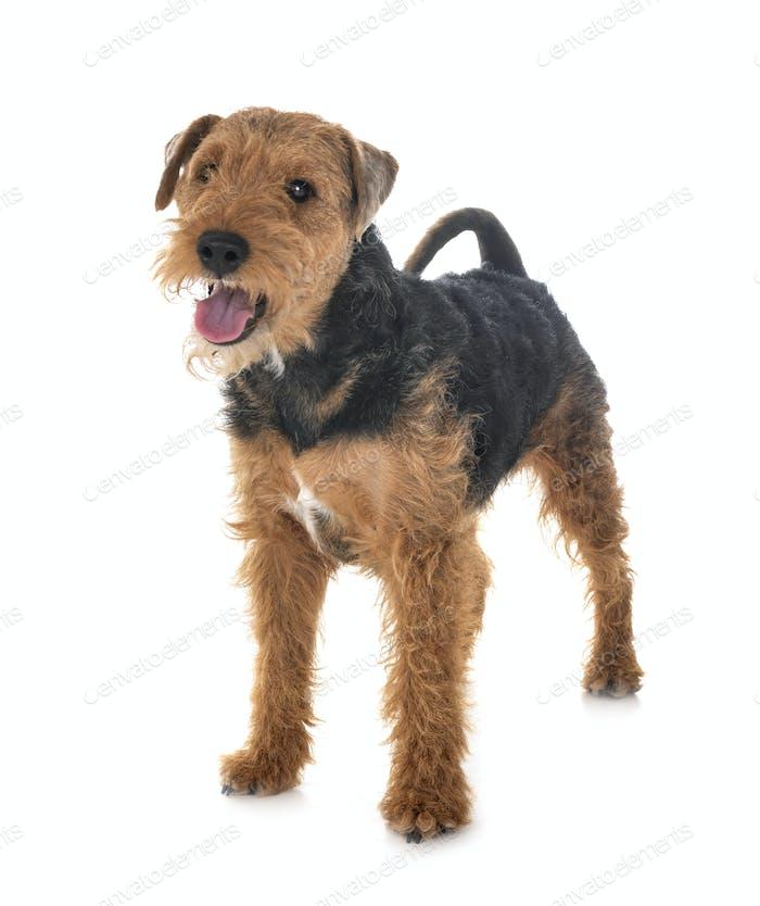 welsh terrier in studio