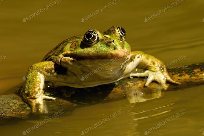 Nahaufnahme eines essbaren Frosches, der im Sommer aus dem Wasser schleicht