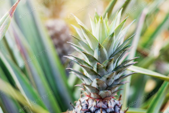 Pineapple growing with sunlight