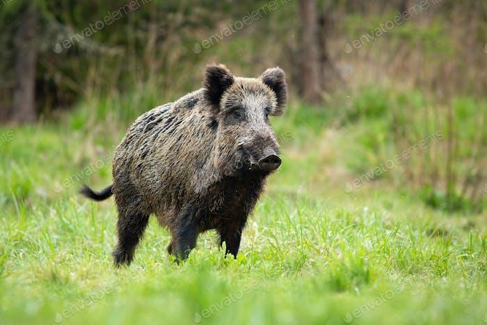 Alert male wild boar standing fierceful on a meadow in springtime