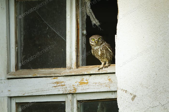 Curios little owl sitting in window with broken glass of an old ruined house