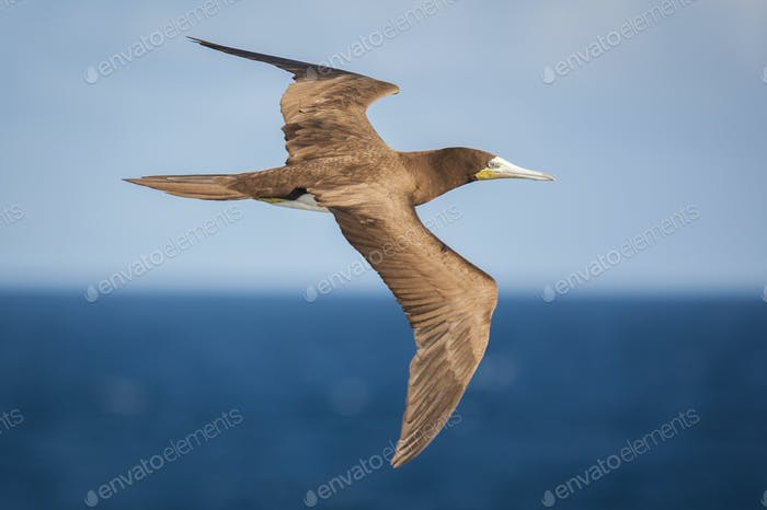 Brown Booby in flight over the ocean.