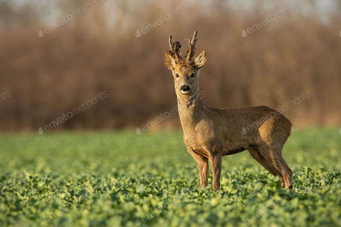 Roe deer stag at sunset with winter fur