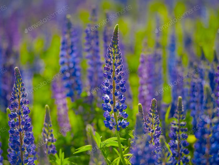 Lupins bloom in the field during the summer day