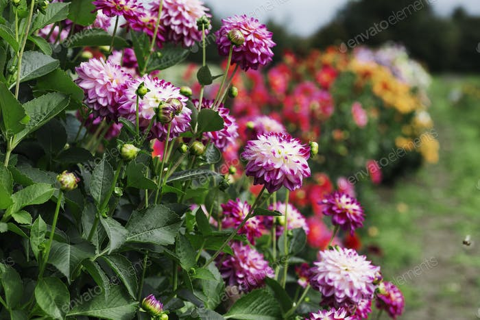 Dahlias flowering in a commercial nursery bed.