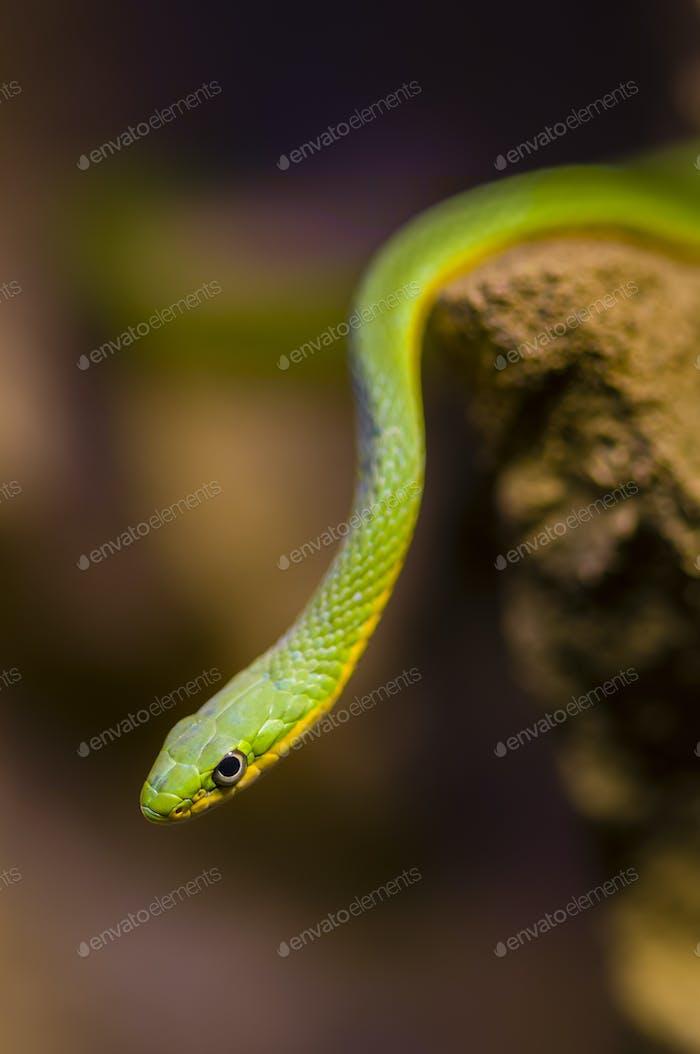 Hängende grüne Schlange