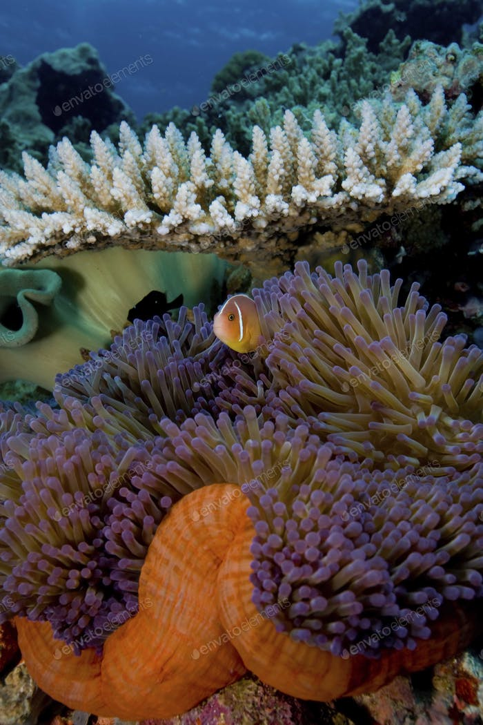 Pink anemonefish, Amphiprion perideraion, in its' host anemone, Australia