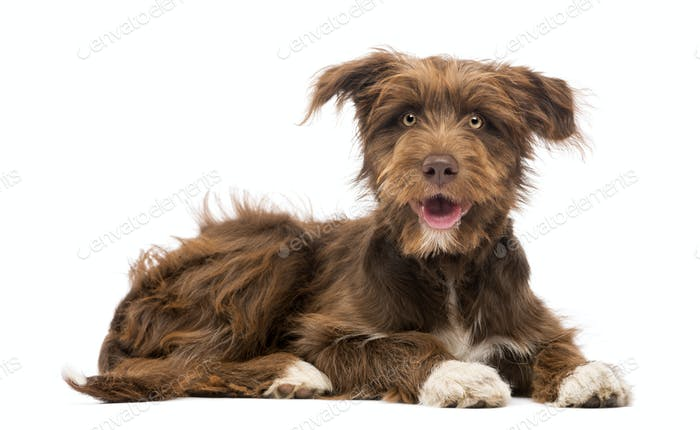 Crossbreed, 5 months old, lying and looking at camera against white background