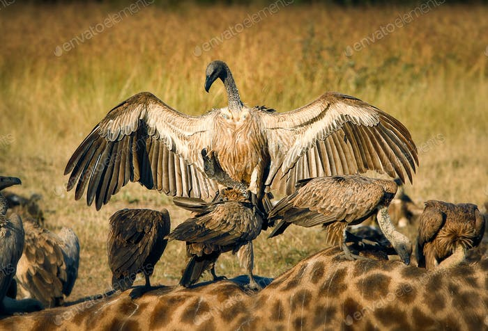 A white-backed vulture, Gyps africanus, opens up its wings and lands on another vulture, which