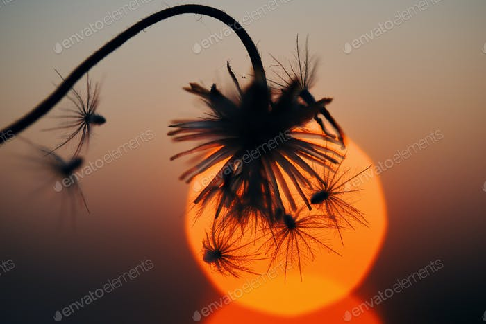 Silhouetted wilted dry flowers with sunset