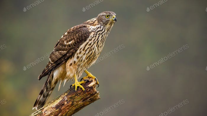 Juvenile northern goshawk, accipiter gentilis perched on a bough