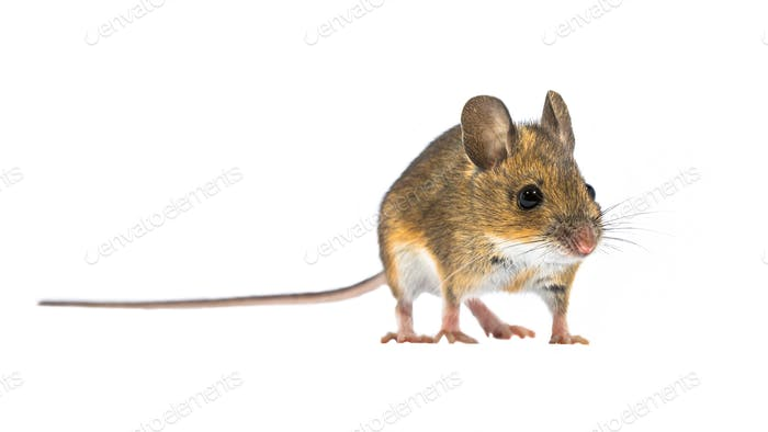 Charming Cute mouse isolated on white background