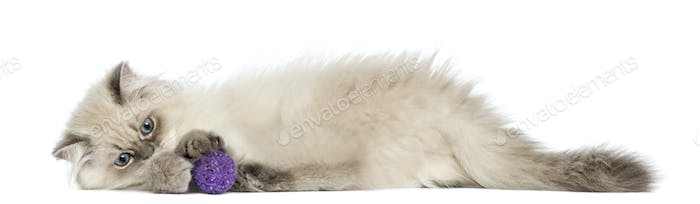 Side view of a British Longhair kitten lying, playing with ball, 5 months old, isolated on white